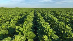 Rows of cabbage in big field, IWC Agriculture